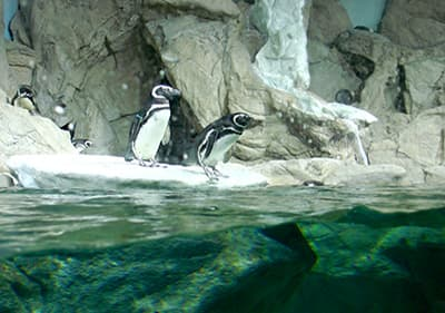 Pinguine im Aquarium von Genua in Ligurien